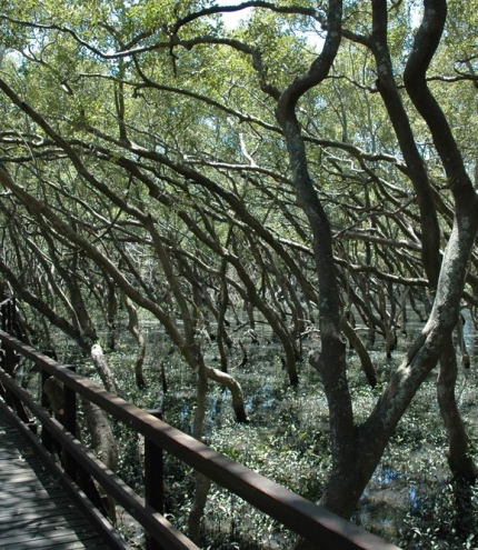 Boardwalk surrounded by mangroves.