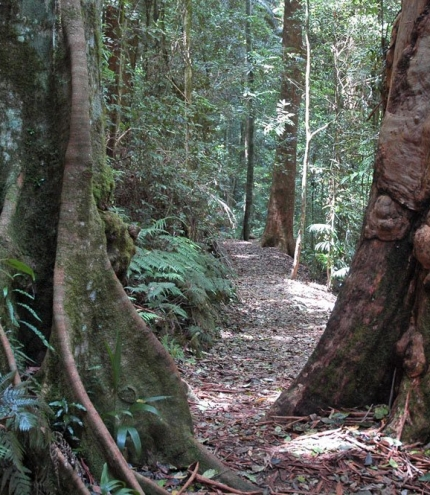 Large rain forest trees in Greenes Falls Circuit Mt Glorious